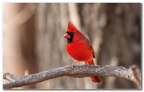 Image Northern Cardinal Perching Bird Branch Wildlife Sparrow