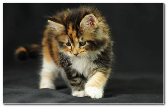 Image Norwegian Forest Cat Fauna Calico Cat Mammal Vertebrate