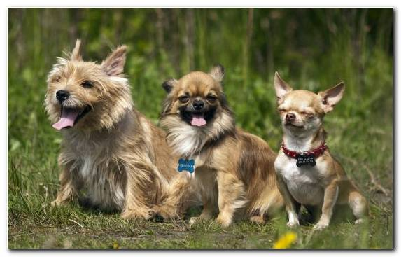 Image norwich terrier breed chihuahua dog breed group dog breed