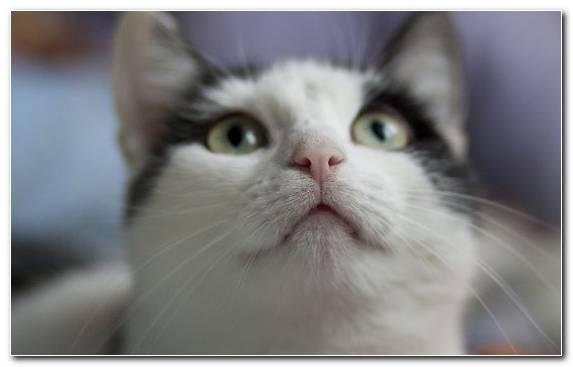 Image Nose Aegean Cat Kitten Snout Ragamuffin Cat