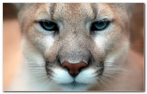 Image Nose Animal American Lion Snout Felidae