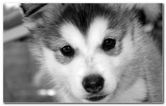 Image Nose Dog Like Mammal Cuteness Infant Husky