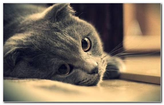 Image Nose Eye Snout Tortoiseshell Cat Tabby Cat