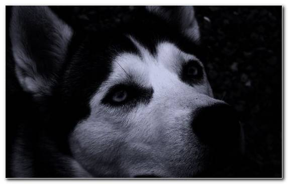 Image Nose Snout Siberian Husky Dog Like Mammal Sled Dog