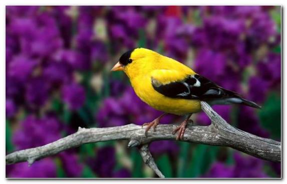 Image Old World Flycatcher American Goldfinch The Goldfinch Old World Oriole European Goldfinch