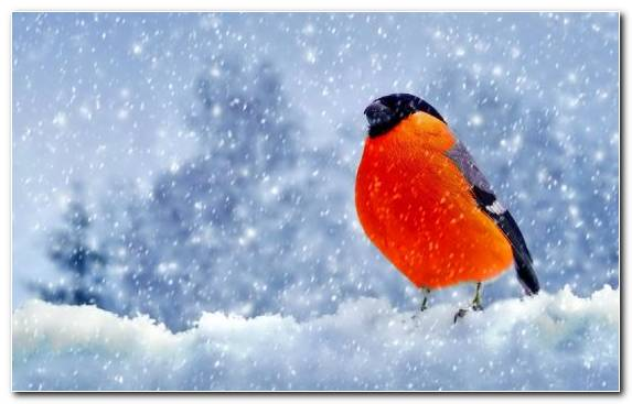 Image Old World Flycatcher Beak Sky Passerine Bullfinch Winter