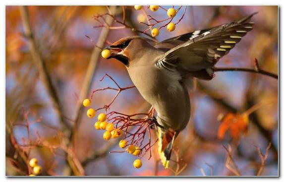 Image Old World Flycatcher Berries Tree Beak Flora