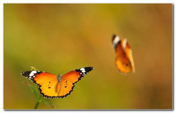 Image Orange Close Up Lycaenid Butterfly Moths And Butterflies