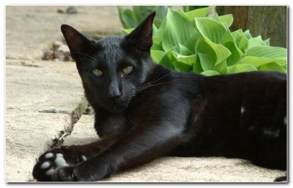 Image Oriental Shorthair Snout Breed British Shorthair Black Cat
