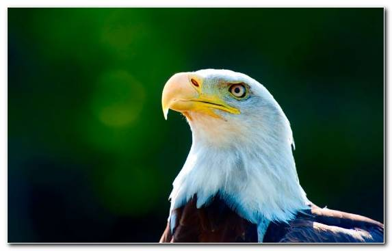 Image Oryol Beak Eagle Bird Of Prey Bird