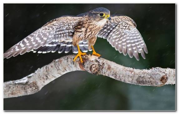 Image oryol bird of prey peregrine falcon wildlife hawk