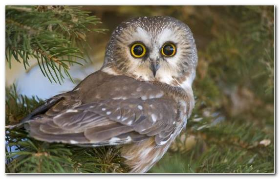 Image Owl Animal Wildlife Beak Bird