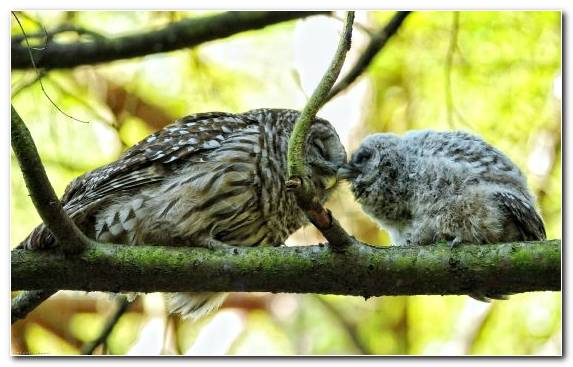 Image Owl Barred Owl Beak Fauna Bird Of Prey
