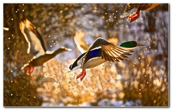 Image Painting Wildlife Tree Branch Mallard