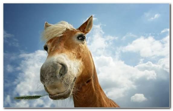 Image Palomino Halter Mustang Horse Mane Stallion