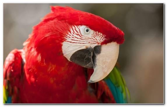Image Parakeet Common Pet Parakeet Bird Parrot Beak