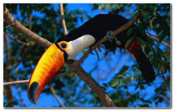Image Parrot Macaw Toucan Bird Beak