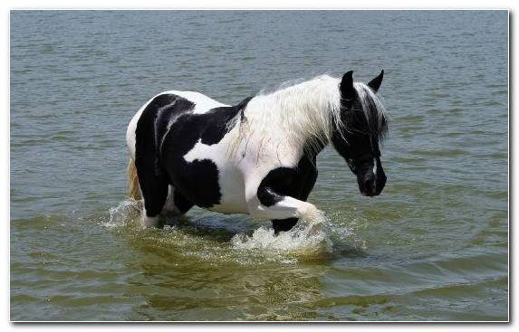 Image Paso Fino American Paint Horse Mustang Horse White Tail