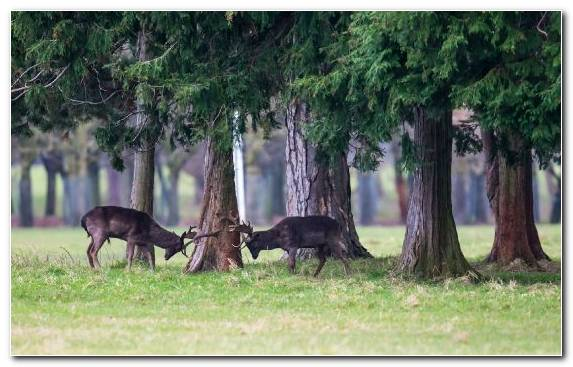 Image Pasture Deer Animal Tree Antelope