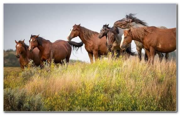 Image Pasture Wild Horse Grassland Grazing Mustang Horse