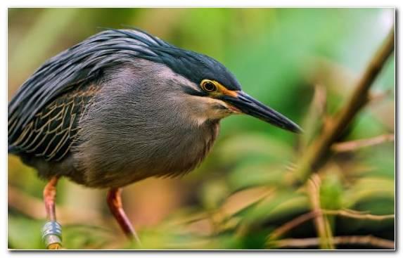Image Pelecaniformes Close Up Heron Animal Flora