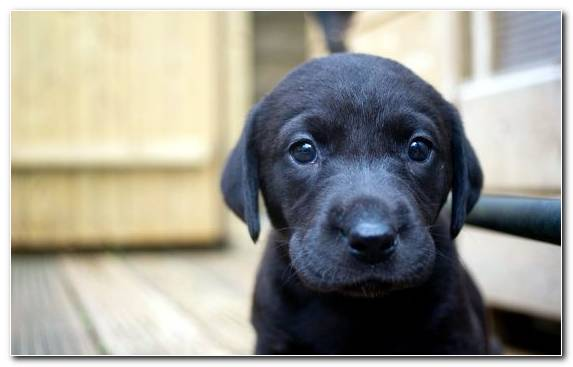 Image Pembroke Welsh Corgi Golden Retriever Animal Dog Crossbreeds Dog Breed