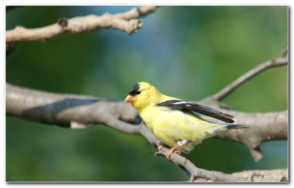 Image Perching Bird Bird Old World Flycatcher European Goldfinch Beak