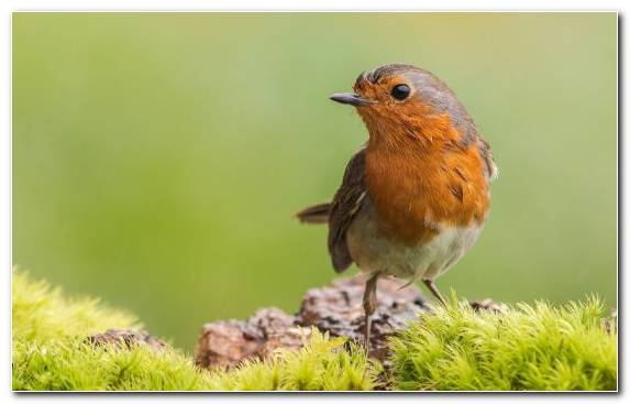 Image Perching Bird Common Chaffinch Wildlife Bird European Robin
