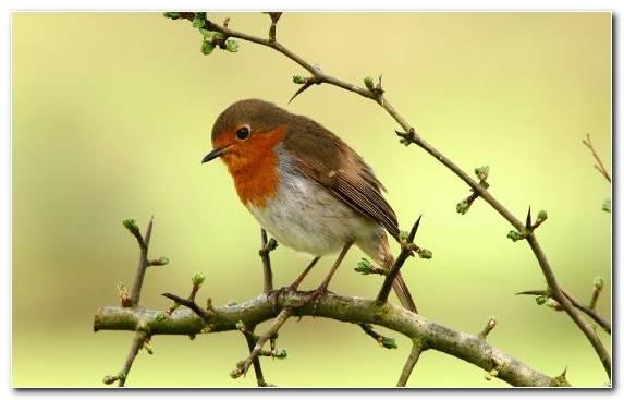 Image Perching Bird Twig Robin Beak Branch