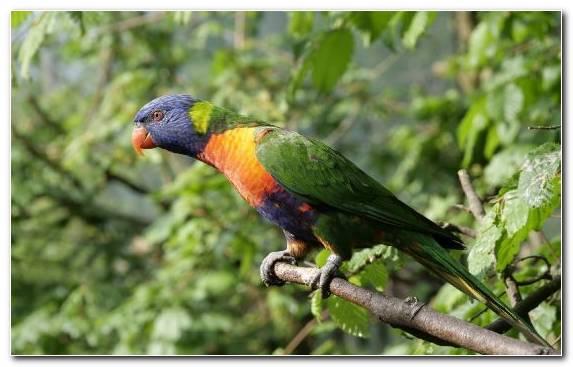 Image perico macaw lorikeet rainbow lorikeet beak