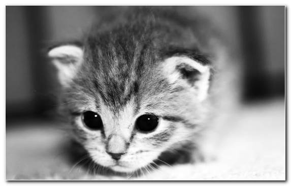 Image Persian Cat Black And White Kitten Bicolor Cat Monochrome Photography