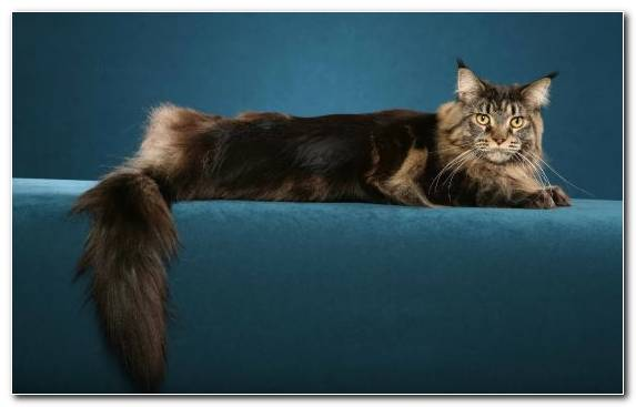 Image Persian Cat Fur Maine Coon Kitten Tail