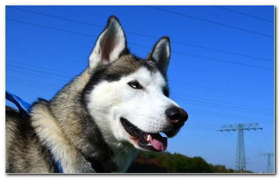 Image Pet Siberian Husky Dog Breed Group Husky Seppala Siberian Sleddog