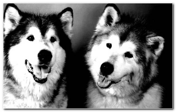 Image Pet Alaskan Malamute Dog Breed Breed Dog Like Mammal
