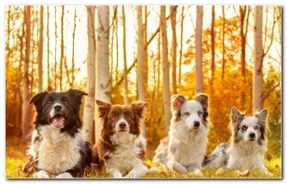 Image Pet Australian Cattle Dog Dog Breed Collie Dog Like Mammal