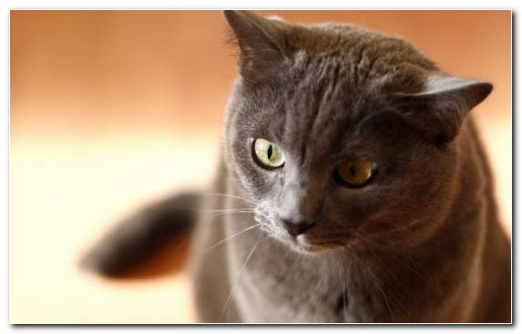 Image Pet Chartreux Cat Eye Moustache