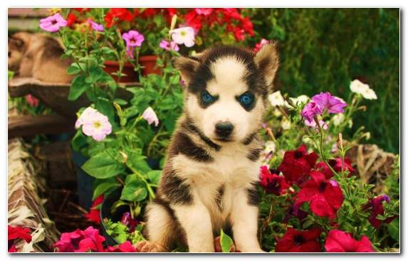 Image Pet Cuteness Dog Breed Siberian Husky Animal