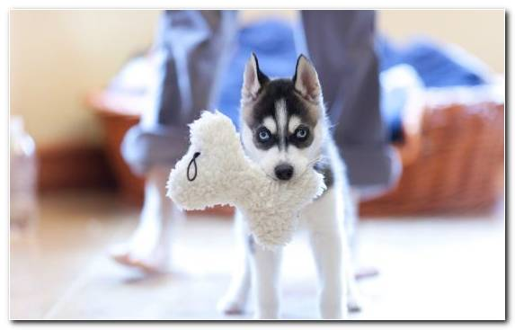 Image Pet Dog Breed Group The Siberian Husky Dog Breed Alaskan Klee Kai