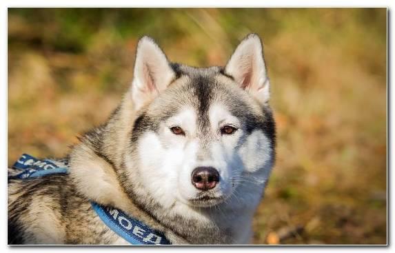 Image pet dog like mammal saarloos wolfdog dog breed dobermann