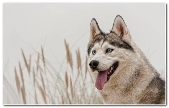 Image Pet Saarloos Wolfdog Dog Like Mammal Seppala Siberian Sleddog The Siberian Husky