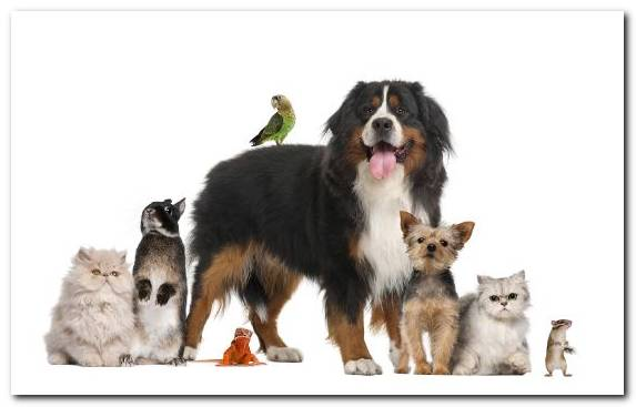 Image Pet Sitting Miniature Australian Shepherd Dog Like Mammal Bernese Mountain Dog Animal