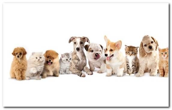 Image Pet Sitting Puppy Love Pembroke Welsh Corgi Kitten Companion Dog