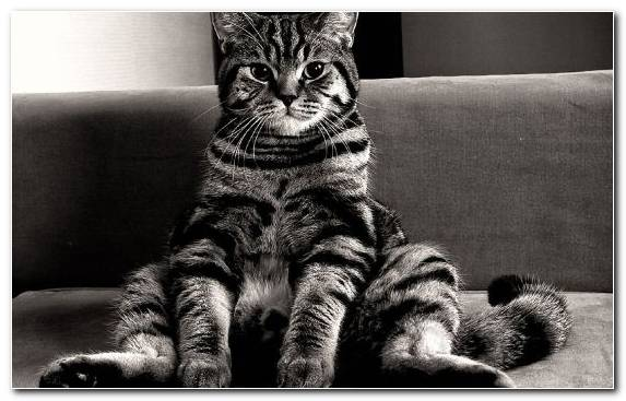 Image Pet Sitting Tabby Cat Tortoiseshell Cat Monochrome Photography Cat