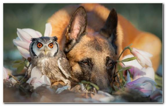 Image Pet Snout The German Shepherd Owl Cat