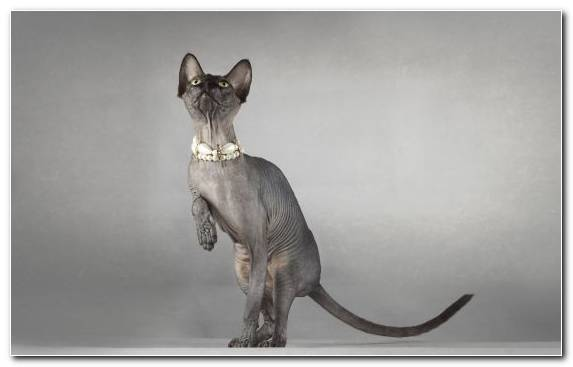 Image Peterbald Maine Coon Mammal Sphynx Cat Donskoy Cat
