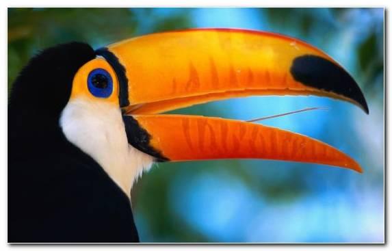 Image piciformes rhinoceros toco toucan bird beak