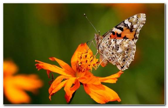 Image Pieridae Brush Footed Butterfly Flower Nectar Insect