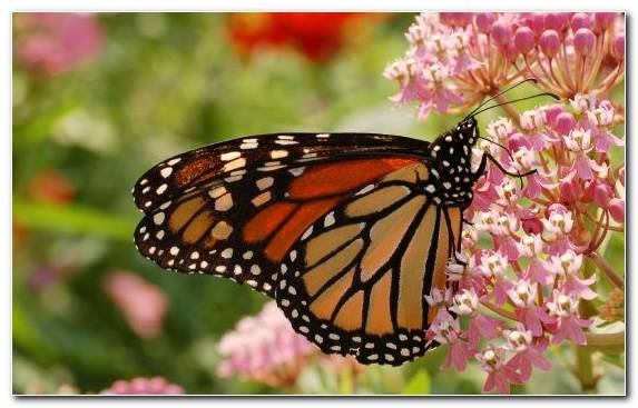 Image Pieridae Moths And Butterflies Nectar Monarch Butterfly Arthropod