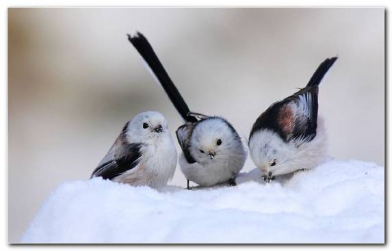 Image Pierrot Beak Wildlife Feather Cuteness