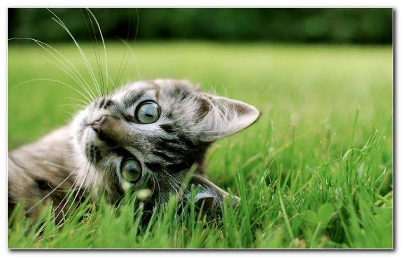 Image Pink Cat Pet Calico Cat Grasses Moustache